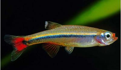 Аквариумная рыбка кардинал 2