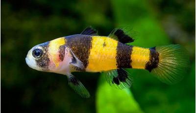 Бычок-пчелка аквариумная рыбка