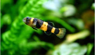 Бычок-пчелка аквариумная рыбка 3