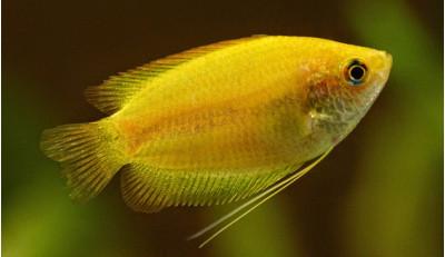 Желтый Нано-Лялиус