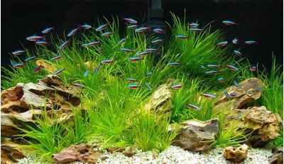 Стая красных неонов в аквариуме фото