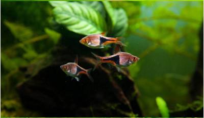 Клинопятнистая расбора в аквариуме