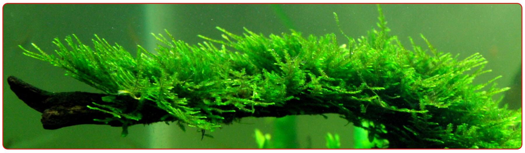 Содержание мха в аквариуме