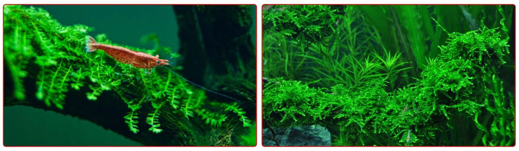Плачущий мох в аквариуме