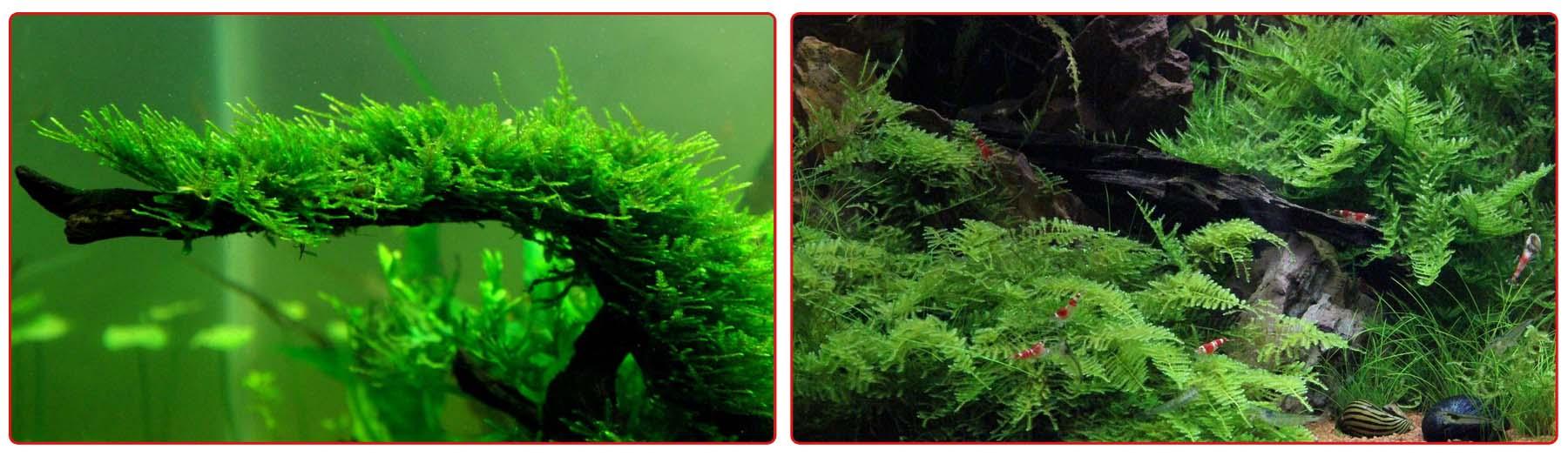 Рождественский мох в аквариуме