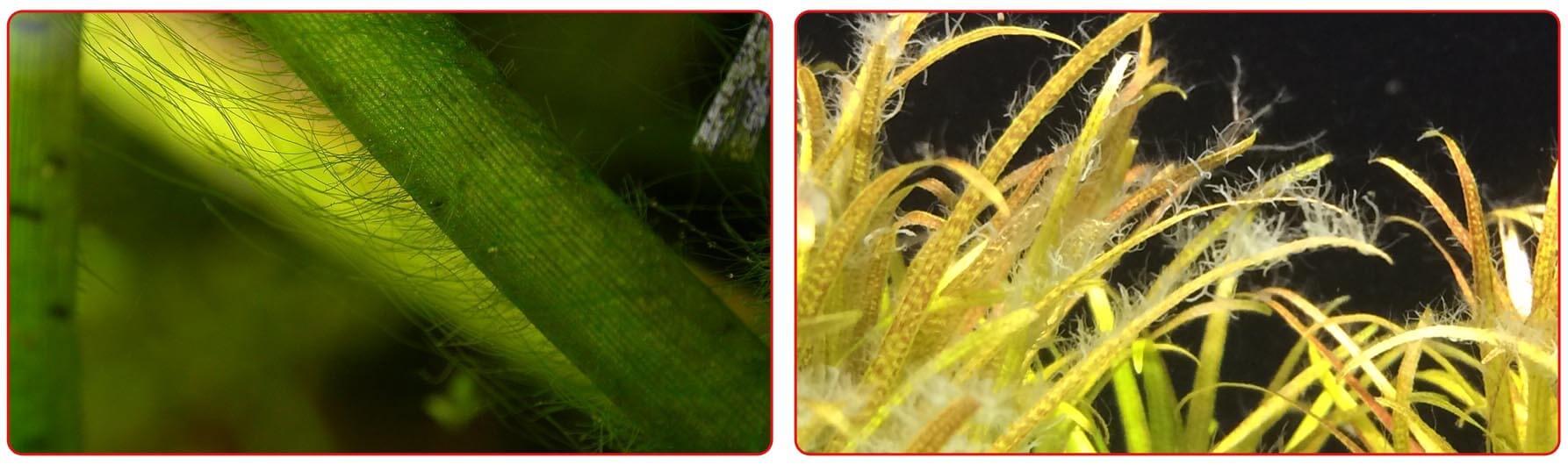 Ксенококус на листьях аквариумных растений