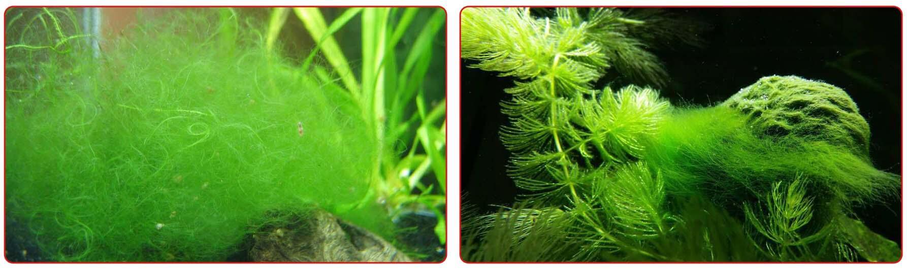 Спирогира в аквариуме