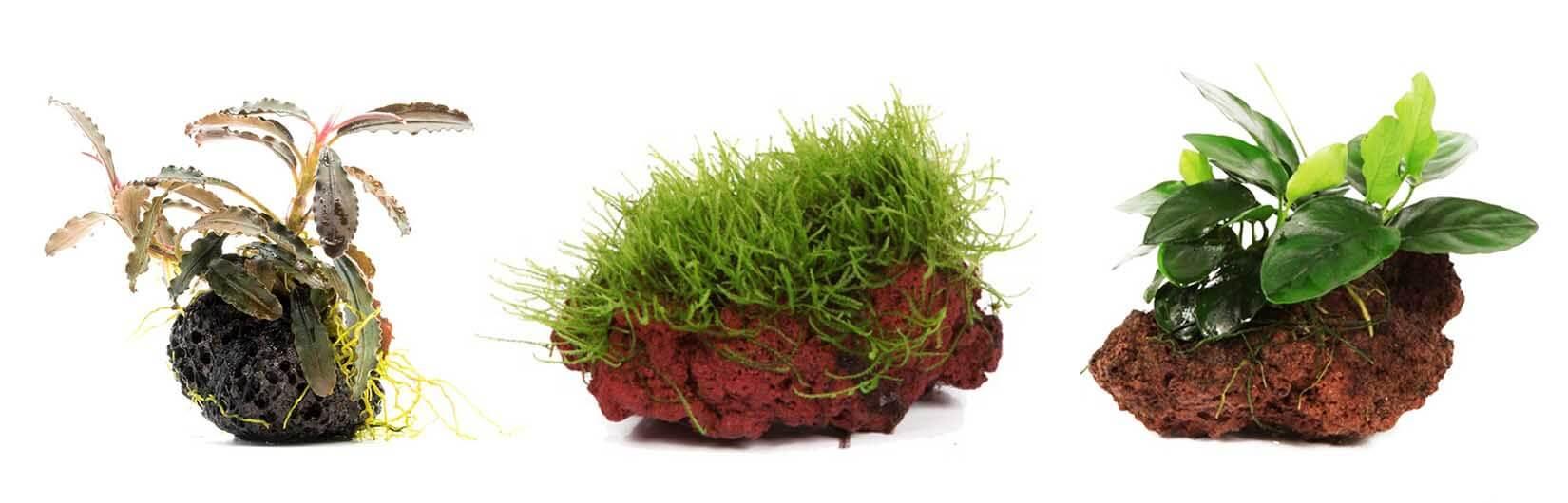 Аквариумные растения на лаве